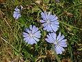 Helgoland blaue Blume 21991.JPG