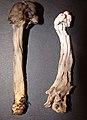 Helvella maculata (32843520635).jpg