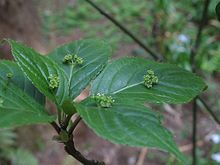 Helwingia japonica m.jpg