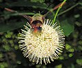 Hemaris diffinis (snowberry clearwing moth) (Newark, Ohio, USA) 4 (41495400440).jpg