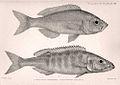 Hemibates stenosoma & Bathybates fasciatus.jpg