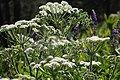 Heracleum lanatum close with lupine.jpg