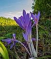 Herbstblumen P1260256.jpg