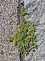 Herniaria glabra sl13.jpg