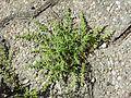 Herniaria hirsuta sl12.jpg