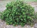 Hibiscus brackenridgei subsp. molokaiana (5187465237).jpg