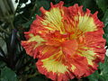 Hibiscus gelb-orange.JPG