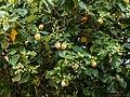 Hibiscus tiliaceus inflorescences Moora Park Shorncliffe Bramble Bay Queensland P1020194.jpg