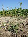 Hibiscus trionum sl2.jpg