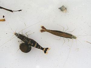 Caridina - Caridina serratirostris