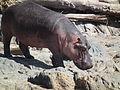Hippopotamus amphibius in Tanzania 2820 Nevit.jpg