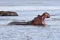 Hippopotamus in the Zambezi 01.jpg