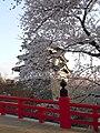 Hirosaki Park (during the sakura) - panoramio (4).jpg