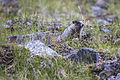 Hoary Marmot Juveline - Marmota caligata (21297494390).jpg