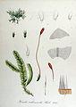 Homalia trichomanoides — Flora Batava — Volume v14.jpg