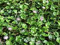 Homogyne alpina a4.jpg