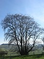 Hopton Castle ancient coppiced wych elm.jpg