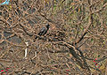 House Crow (Corvus splendens) at nest in Kolkata I IMG 1716.jpg
