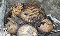 House Structure of Stingless Bees.jpg