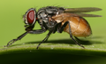 Housefly musca domestica cropped (2).png