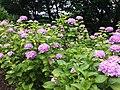 Hydrangea in Tamagadai Park - panoramio.jpg