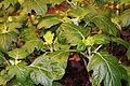 Hydrangea quercifolia Boston 2011.JPG