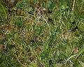Hydrotaea sp^ on flattened grass patch - Flickr - S. Rae.jpg