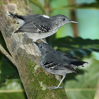 Band-tailed antbird - at Apiacás, Mato Grosso state, Brazil