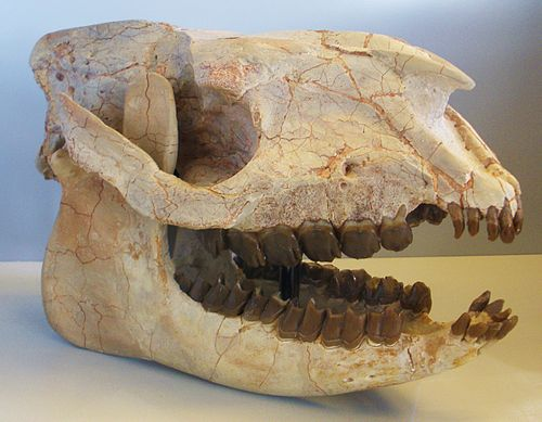 Hyracodon
