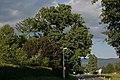 ID 771 Quercus 001.jpg