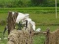 Ibis silkworm2.jpg