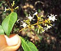 Ichnocarpus frutescens 26.JPG