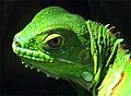 Iguana head.jpg