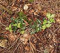 Ilex aquifolium 03 ies.jpg