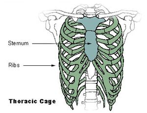 Midsternal line - Thoracic cage