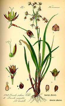 Illustration Luzula pilosa0.jpg