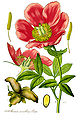 Illustration Paeonia mascula1.jpg