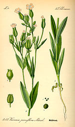 Illustration Vaccaria hispanica0.jpg