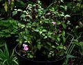 Impatiens uniflora - Flickr - peganum (3).jpg