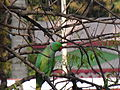 Indian Ring Necked Parakeet.JPG