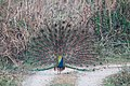 Indian peafowl at Chitwan National Park (2).jpg
