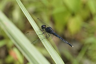 <i>Indothemis carnatica</i> species of insect