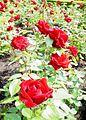 Ingrid bergman roses.jpg