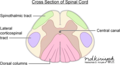 Intramedullary spinal cord anatomy.webp