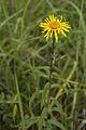 Inula salicina coteau-charteves 02 23062007 21.jpg