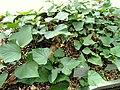 Ipomoea batatas - Copenhagen Botanical Garden - DSC07973.JPG