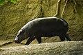 Ippopotamo at Berlin zoo (2521948368).jpg