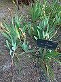 Iridaceae Iris Albicans en Madrid.jpg