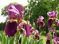 Iris, Highwood Cemetery, 2015-05-18, 01.jpg