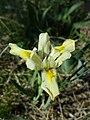 Iris humilis subsp. arenaria sl4.jpg